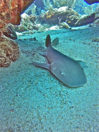 Simpson Bay, St. Maarten-St. Martin: Nurse Shark