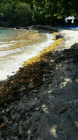 Sugar Bay Resort & Spa: Rocky and Gnat infested beach!! Nothing like the resorts web sites pictures!