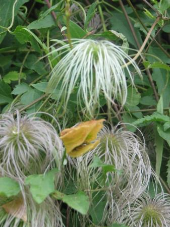 Casey's Bed & Breakfast: Dr suess's lorax hides in her garden, ok its a clamitis