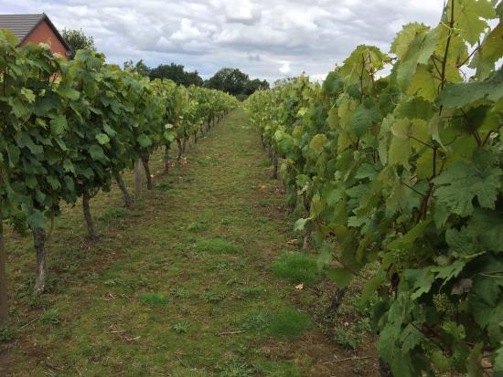 Wroxeter Roman Vineyard