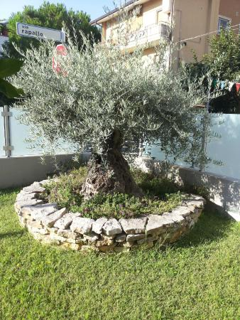 Ulivo da giardino 28 images ulivo pianta piante da for Piante da aiuola