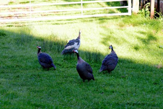 Grove Farm B&B: pet peahens