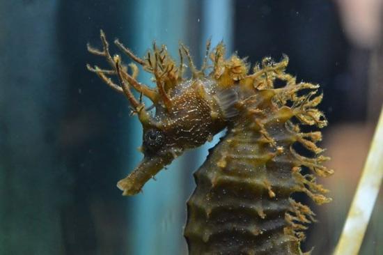 Cavalluccio marino foto di aquarium pula pola tripadvisor for Foto cavalluccio marino