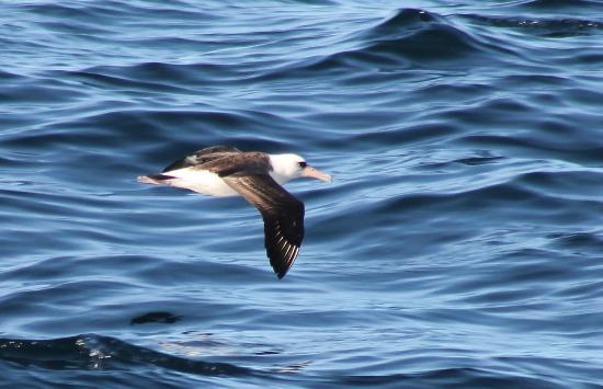 Westport Seabirds Pelagic Tours: Laysan Albatross found on February 2015 Pelagic trip with Westport Seabirds