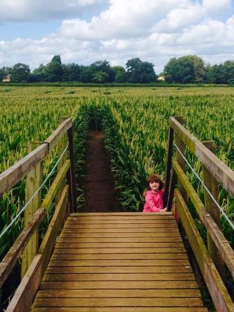 Reaseheath Maize Maze: bridge and the maize maze