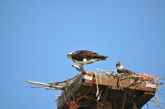 Eagles Hot Lake RV Park: Osprey nest.