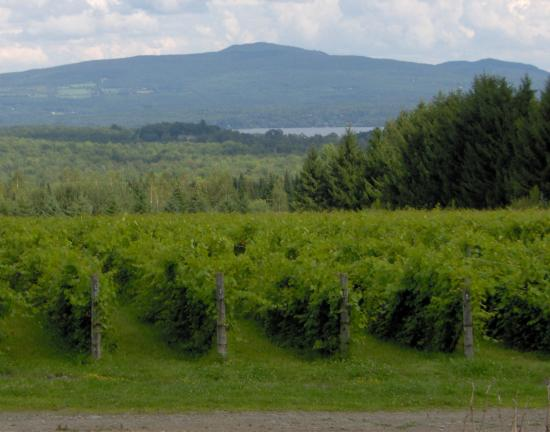 La Route des Vins : Vineyards with Lac Brome and hills in background.