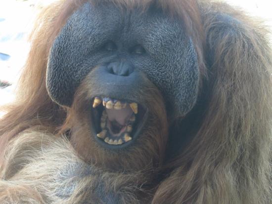 Cheyenne Mountain Zoo: Orangutan laughing