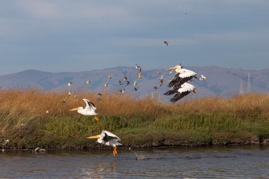 Palo Alto Baylands Nature Preserve: Pelicans