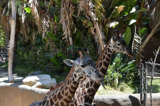 Les Girafes En Action Picture Of Los Angeles Zoo Botanical Gardens Los Angeles Tripadvisor