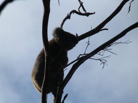 koala silhouette picture of kennet river koala walk. Black Bedroom Furniture Sets. Home Design Ideas