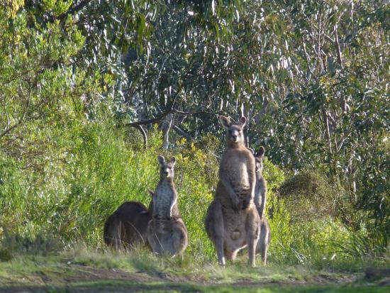 kangaroos picture of kennet river koala walk kennett. Black Bedroom Furniture Sets. Home Design Ideas
