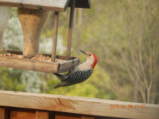 Big Island, VA: Woodpecker at the Bird Feeder