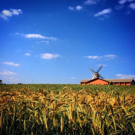 Moinho Povos Unidos: Campo de trigo próximo ao Moinho