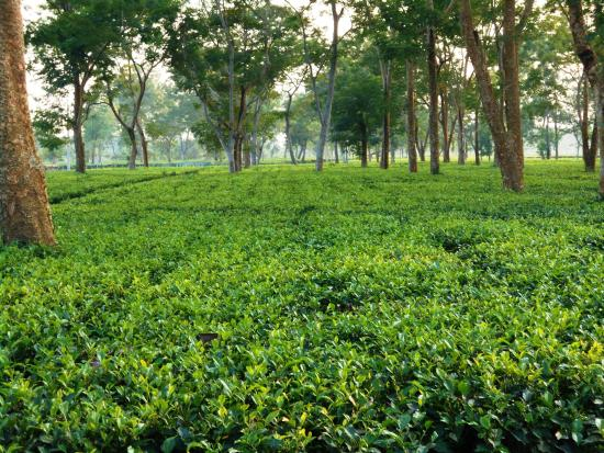 tea gardens dibrugarh