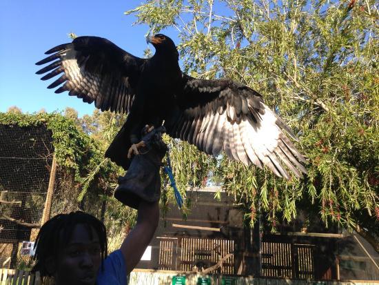 Eagle Encounters South Africa: Black Eagle