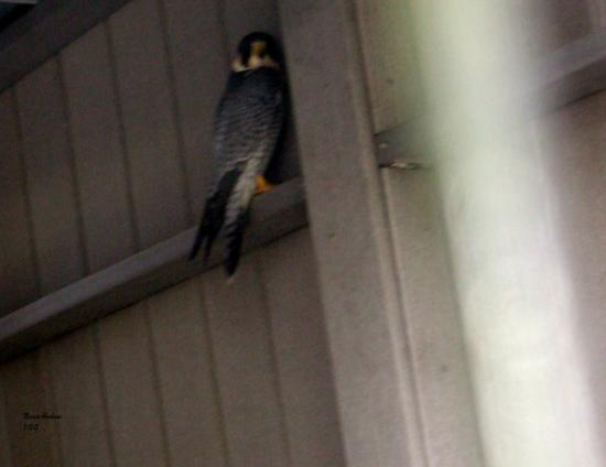 Jupiter, FL: Peregrine falcon- Busch Wildlife Sanctuary