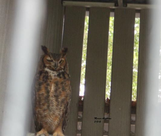 Jupiter, FL: Great horned owl - Busch Wildlife Sanctuary