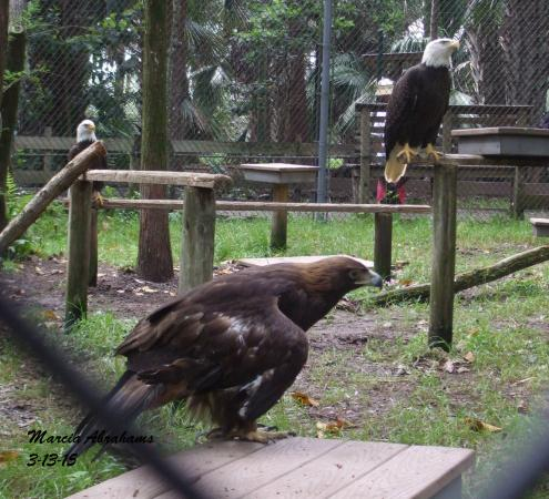 Jupiter, FL: Bald eagle and golden eagle - Busch Wildlife Sanctuary