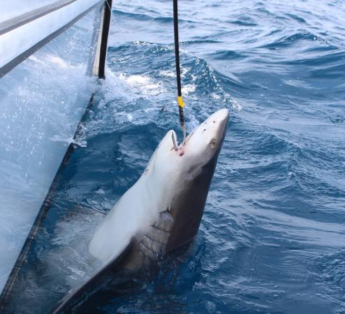 Bull shark picture of angler management sportfishing for Deep sea fishing west palm beach