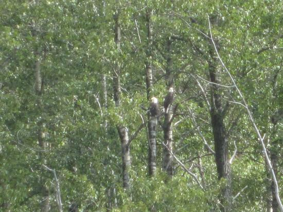 Skagway Float Tours: a pair of bald eagles we saw on the float