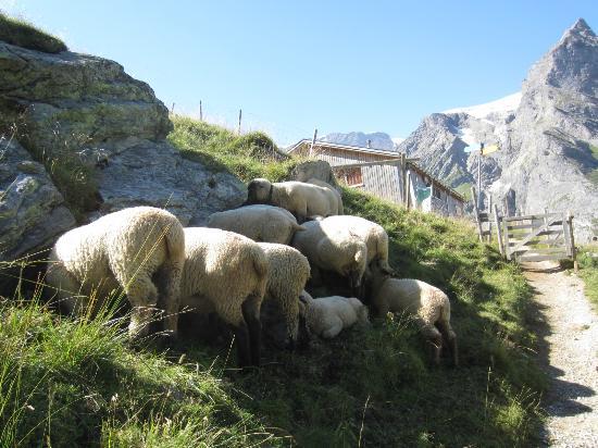 Restaurant Berghaus Baregg: 羊よけのゲートを開けて入ります。顔だけ黒いので、暑いのかみんな岩陰に顔を突っ込んでいました。頭隠して尻隠さず・・・