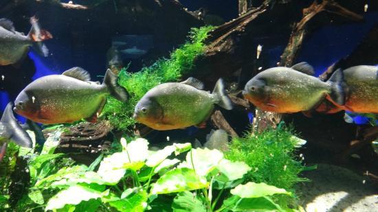 Oceanographic Museum of Monaco: Piranhas