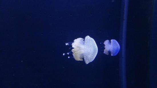 Oceanographic Museum of Monaco: Jelly Fish