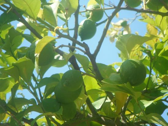 Green House Sorrento: Sorrento lime trees
