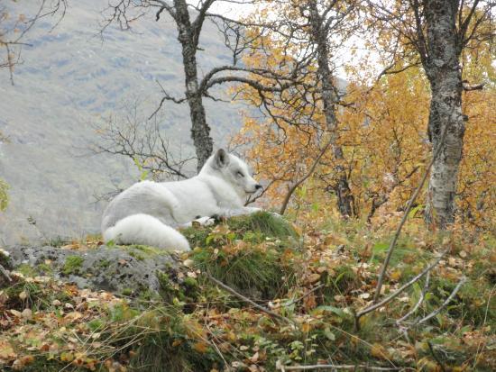 Polar Park: Volpe artica