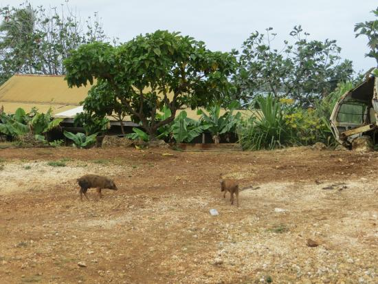 Hilltop Hotel : Pigs roaming free around the front road