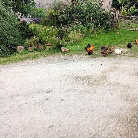 Pleasant Streams Farm Camping : Chickens