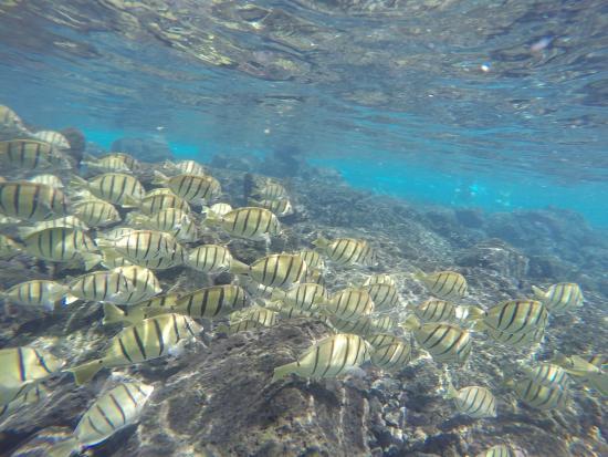 A school of fihs - Picture of Kapoho Tide Pools, Pahoa - TripAdvisor