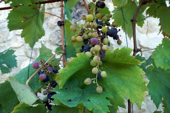 Lagarde-Paréol, France : Les Vignes
