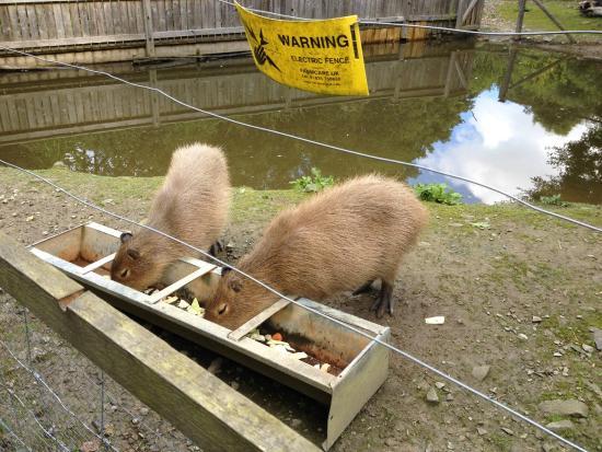 Rowen, UK: Capybaras at Conway water gardens