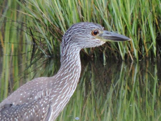 The Villas of Hatteras Landing: young blue heron in marsh..........soo cute