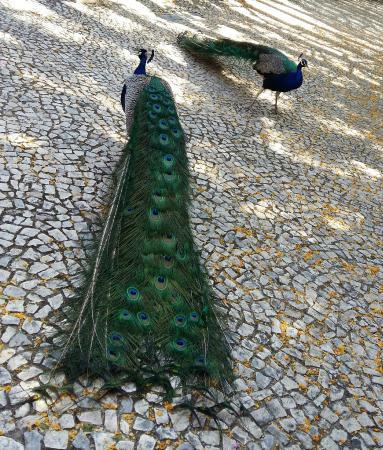 Jardim Zoologico: pavões exibindo sua beleza