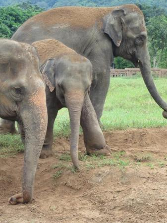 Elephant Nature Park: Two of ENP's matriarchs and a baby elephant injured by an animal trap