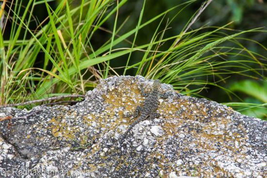 Tip-in-Top Point: Spot the spotted lizard