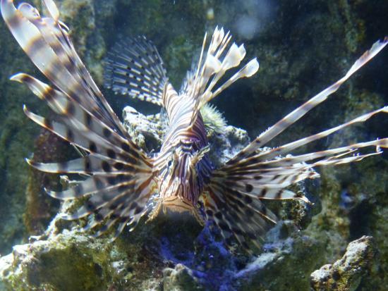 Aquarium de la Guadeloupe: aquarium lion