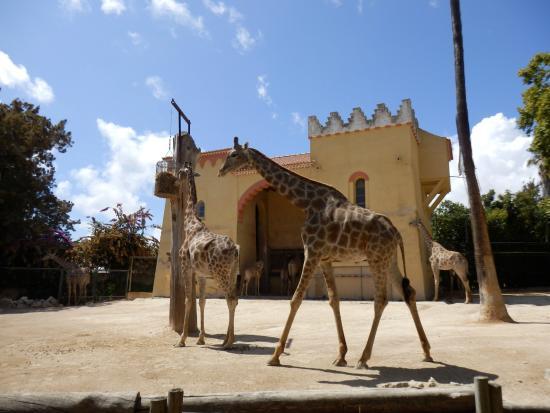 Jardim Zoologico: Giraffes