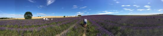 Hitchin Lavender: photo2.jpg