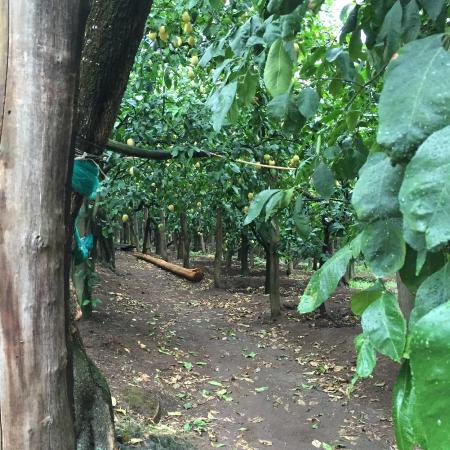 Le Colline di Sorrento: The farm where they have lemons, olives and grapes