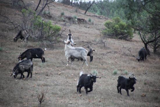 Flinders Ranges National Park: Loads of feral goats near Sacred Canyon