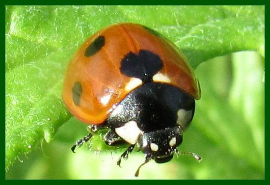 High Woods Country Park: ladybird