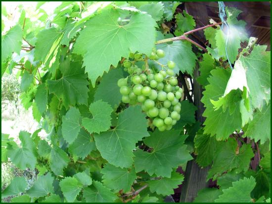 High Woods Country Park: grape