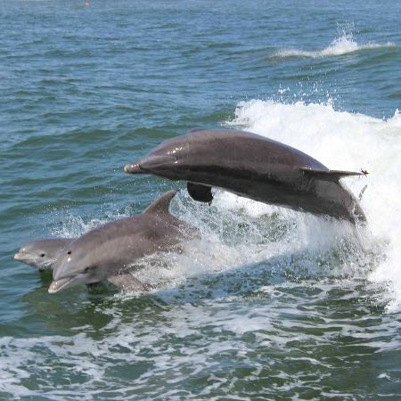 Thundercat Dolphin Watch: Dolphins swimming alongside the boat