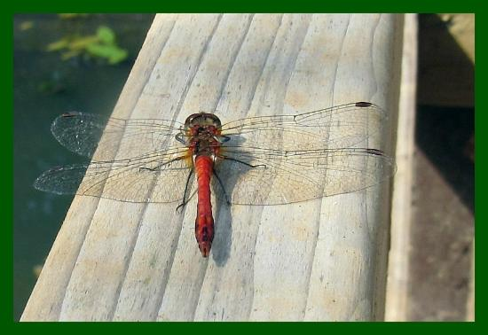 High Woods Country Park: dragonfly