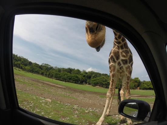 Zoofari: Jirafa CASI en el coche