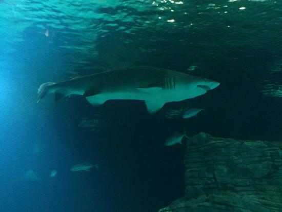 Oceanografic Valencia: Squalo
